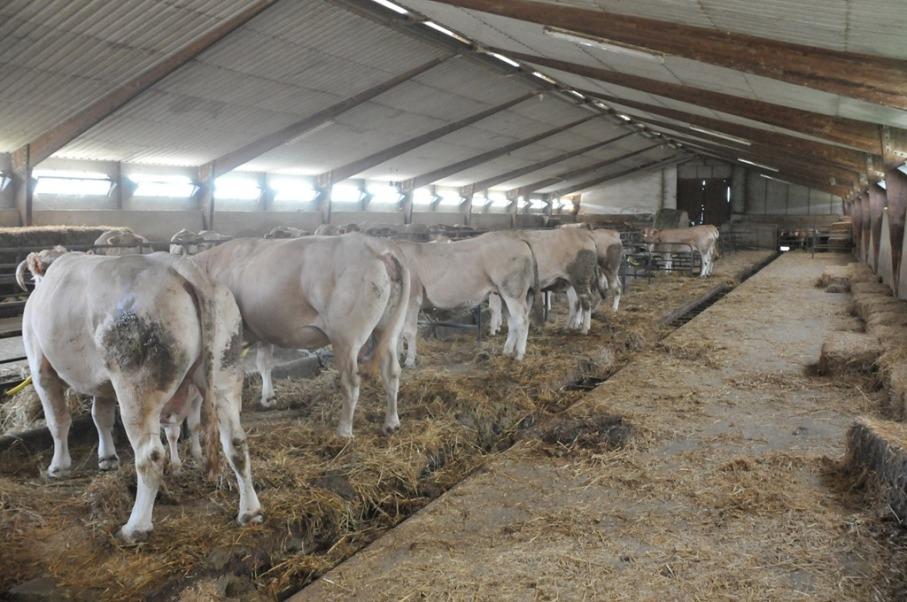 Afera Designing Cattle Sheds