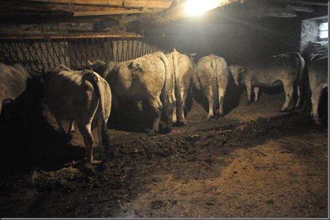 gasc cows