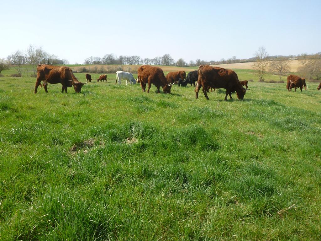 Dog, cows and pasture | grasspunk