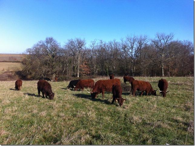 cows jan